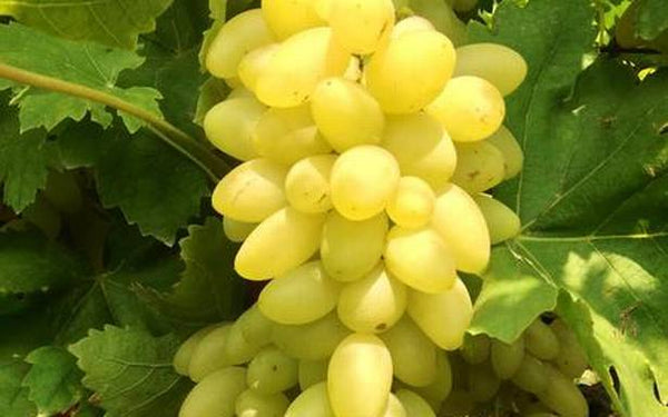 Organic Grapes Green