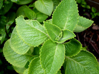 Organic Oregano Leaves / Dodda Patra