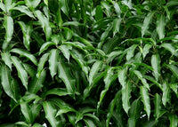 Organic Mango Leaves