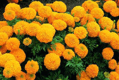 Organic Marigold Flower (orange)