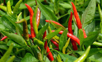 Organic Red Chilli Raw