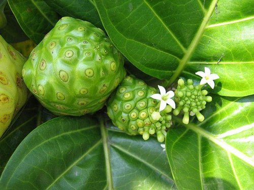 Organic Indian Mulberry/Noni Fruit