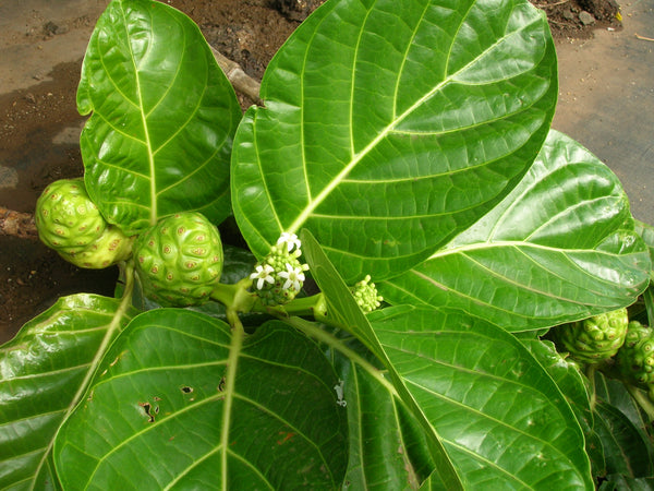 Organic Noni Leaves