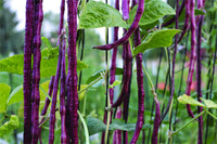 Organic Purple-Yard- Long Beans