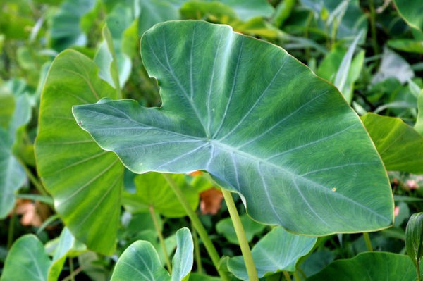 Organic Taro Leaves
