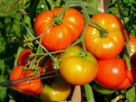 Organic Country Tomato