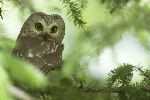 Owl All in the Wild Gallery Jason Leo Bantle