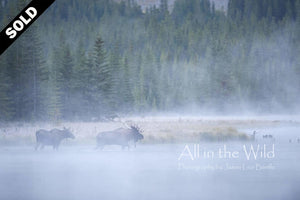 Moose in the Mist All in the Wild Original