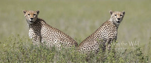 A Spotted Pair All in the Wild Panoramic / Natural Wood Frame / 3x7 Photo