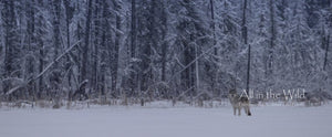 Winter Warrior All in the Wild Panoramic / Natural Wood Frame / 7x15 Photo