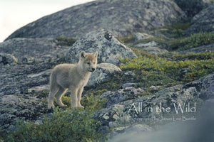 Arctic Curiosity All in the Wild Regular / Natural Wood Frame / 5x7 Photo
