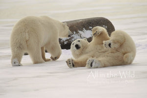 Polar Play All in the Wild Regular / Natural Wood Frame / 5x7 Photo