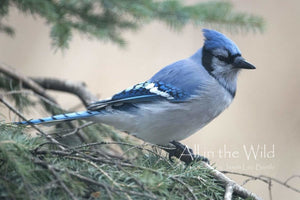 Proud to be a Jay All in the Wild Regular / Natural Wood Frame / 5x7 Photo