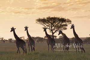 Sunset on the Serengeti All in the Wild Regular / Natural Wood Frame / 5x7 Photo