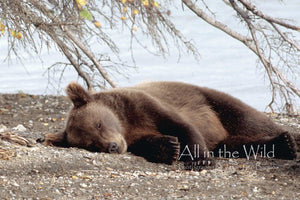 Tired Bear All in the Wild Regular / Natural Wood Frame / 5x7 Photo