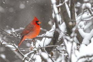 All in the Wild Photo Winter's Scarlet