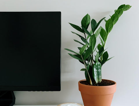 ZZ Plant | Woven Nook