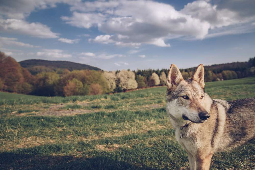 chien loup campagne
