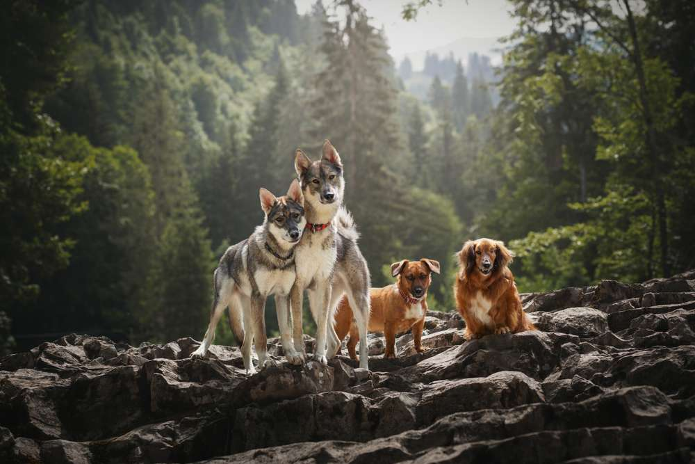 groupe chiens loups