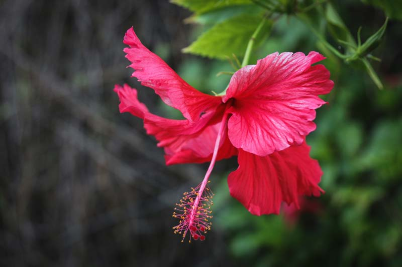 Hawaiian tropical hibiscus flower meaning and symbolism photo-by-brian-yurasits