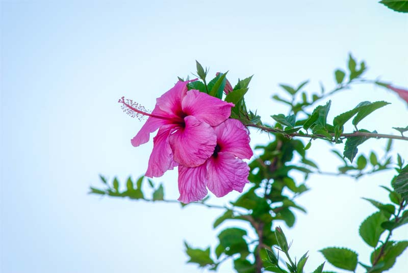 Hawaiian tropical hibiscus flower meaning and symbolism with pictures by luismi-sanchez