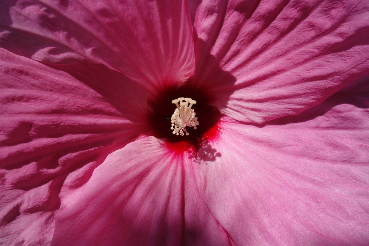 Hawaiian tropical flowers hibiscus meaning and symbolism with pictures and photo by kevin-gawlik