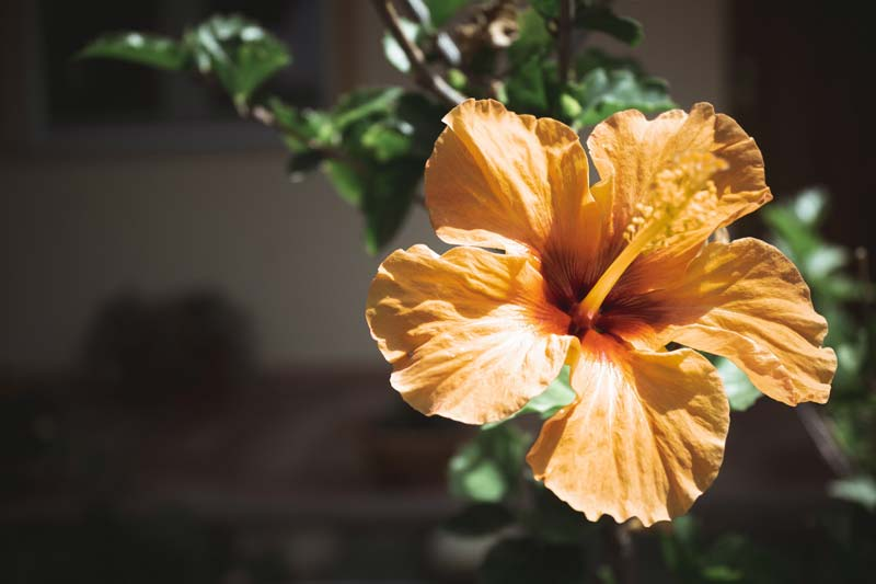 Tropical hibiscus flower meaning and symbolism with photo by Alex Tevere