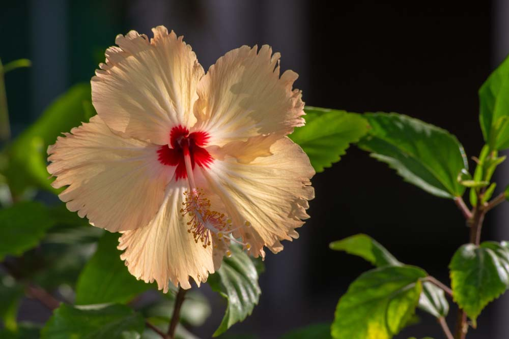Tropical hibiscus flower meaning and symbolism with photo by Jeff Kingma