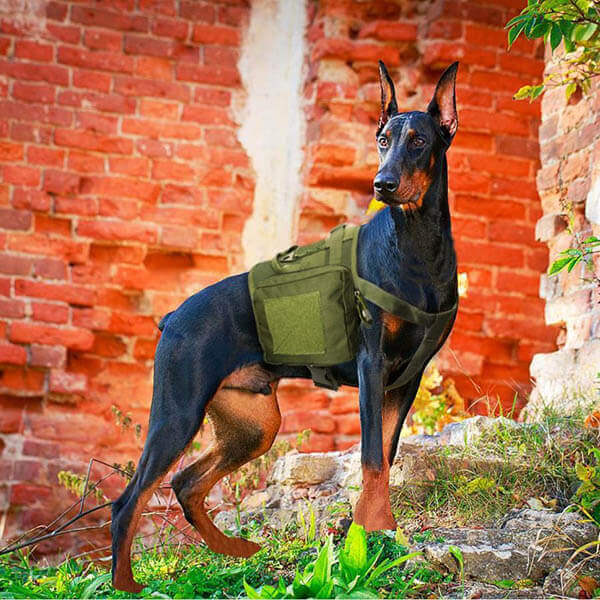 Titan Depot Dog Tactical Training Harness With Detachable Molle Pouch Dobermann working