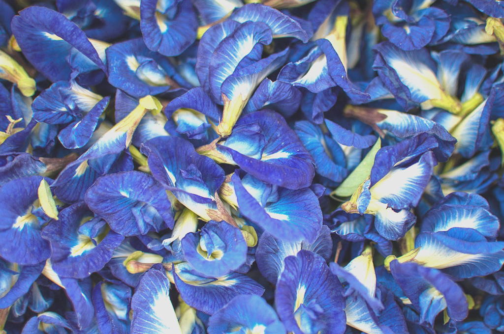 A close up of many butterfly pea flowers
