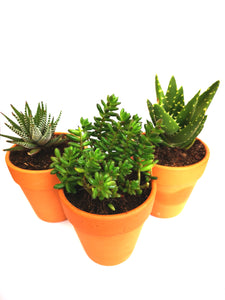 Assorted Succulents (Pack of 3)