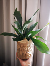 Load image into Gallery viewer, Staghorn Fern 13cm