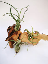 Load image into Gallery viewer, Caput Medusae Air Plant