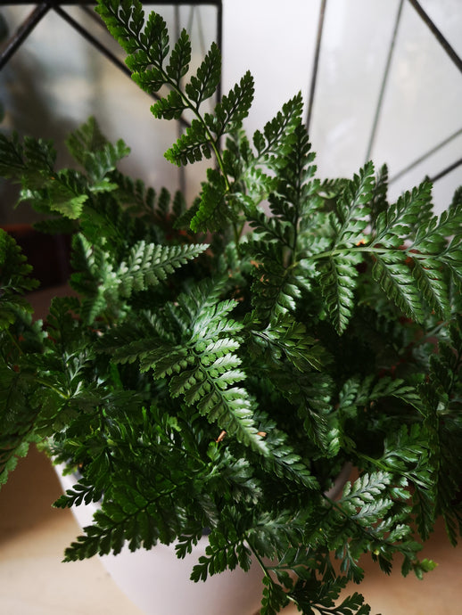 Squirrel Foot Fern