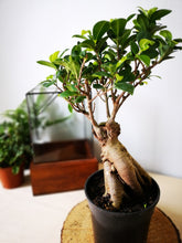 Load image into Gallery viewer, Ficus Ginseng 30cm