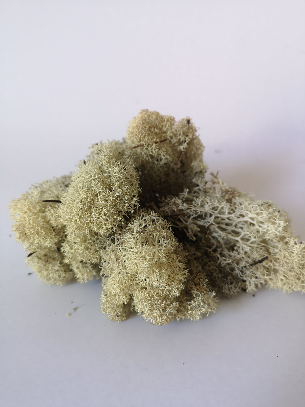 Reindeer Moss - Various Colours - 50 gm