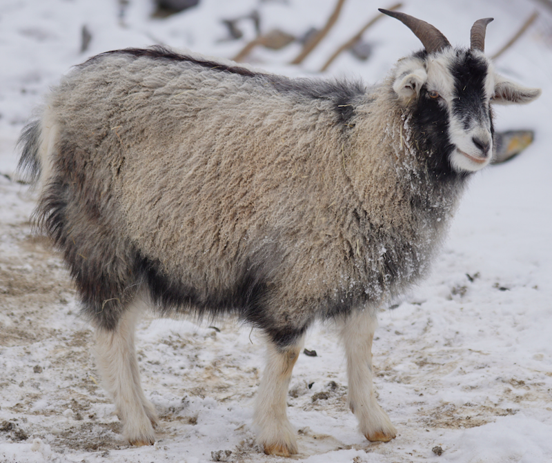 cashmere goat | softest natural fibre
