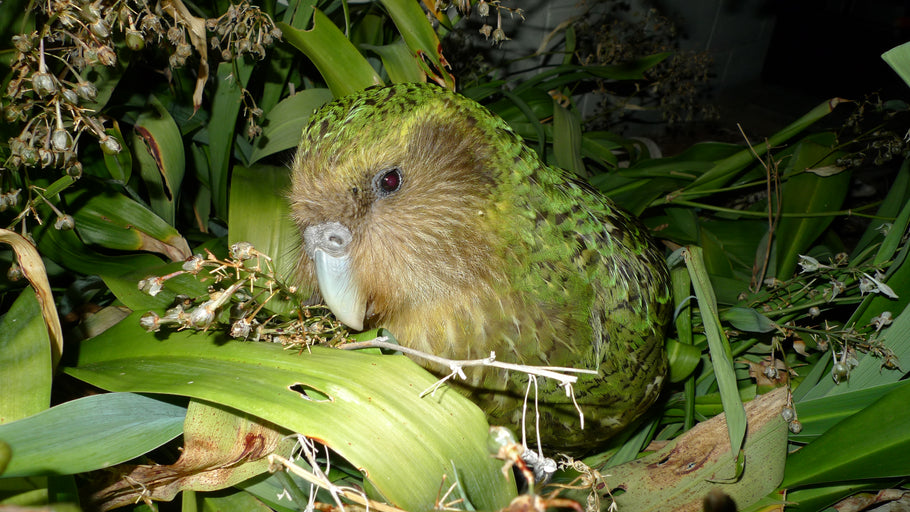 Meet the Kakapo