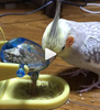 Watch: Rosy Bourke's Parakeet Struggles With Toy; Cockatiel Saves the Day