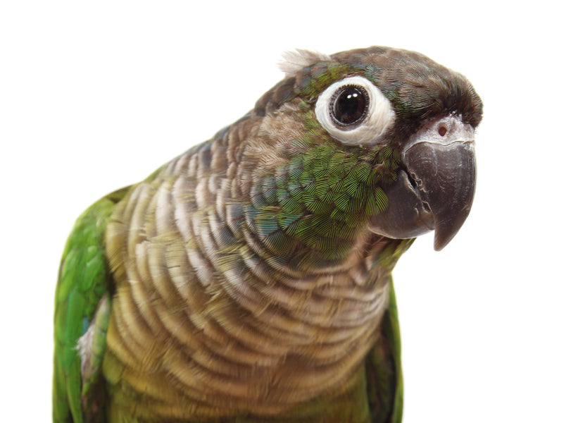 Species Profile: Green-Cheeked Conure