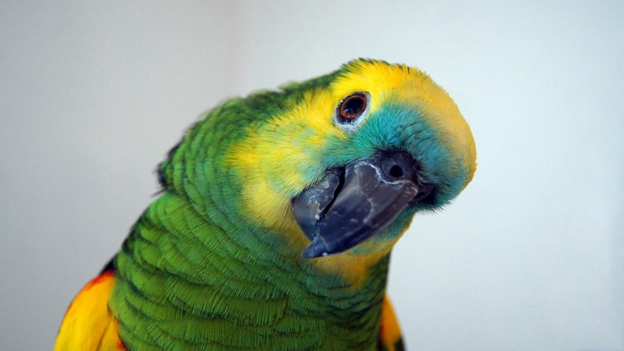 Blue-fronted Amazon Parrot