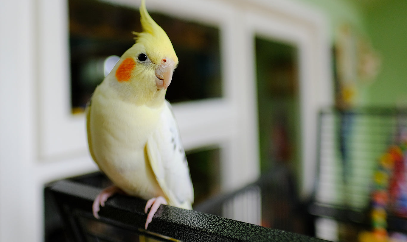 Cockatiel on top of bird cage