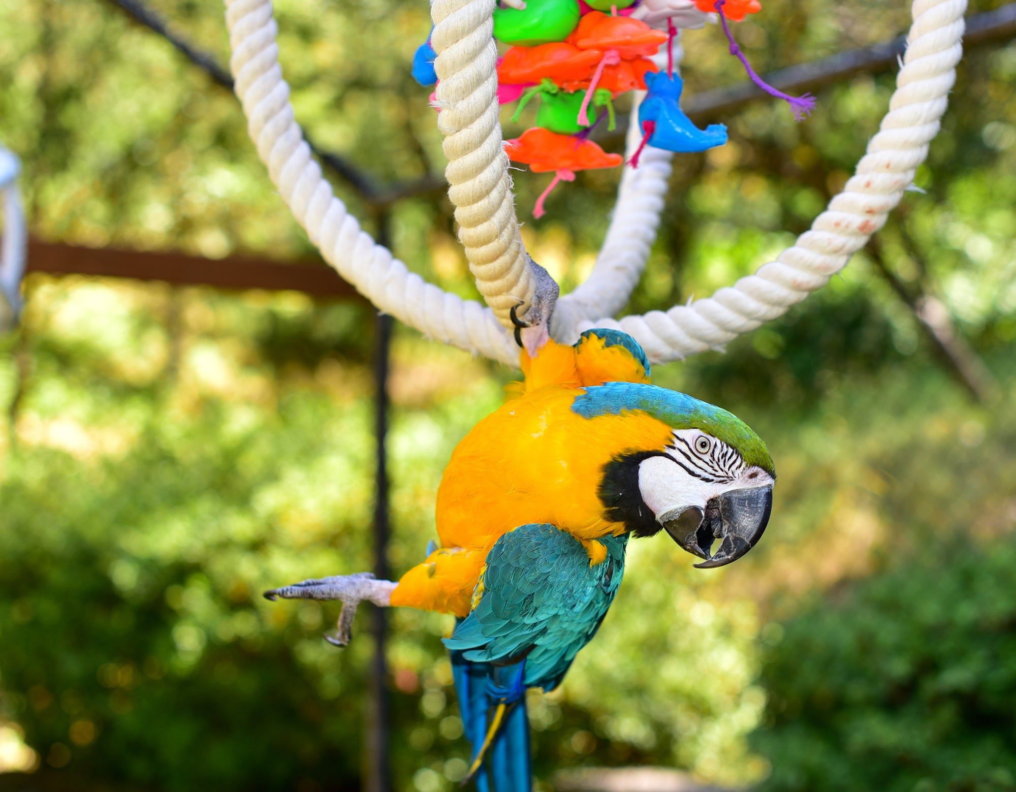 macaw hanging off an interactive toy
