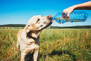 Dog Dehydration: Your Essential Guide This Summer