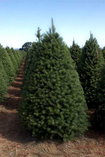 Douglas Fir Christmas Tree