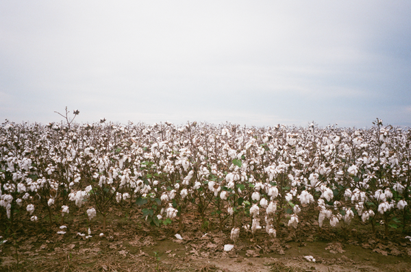 YAZOO COTTON, 2018