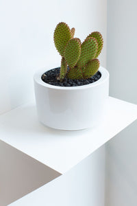 Opuntia Microdasys in White Pot