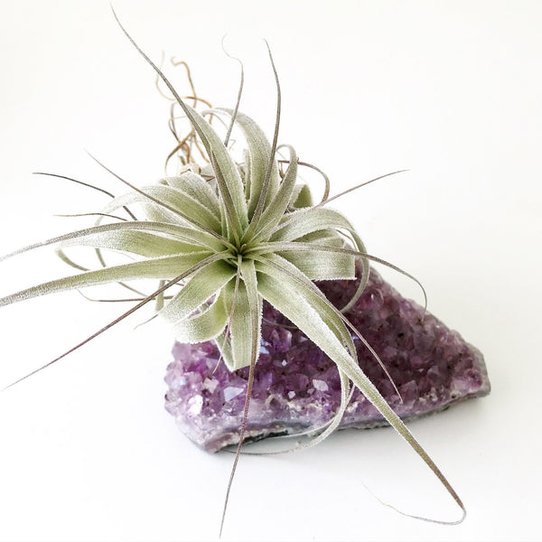 Amethyst with airplant