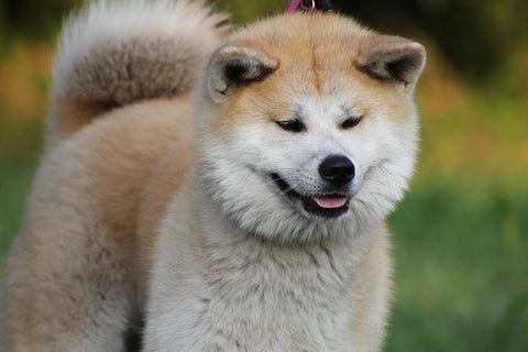 8 Cool Benefits Owning a Japanese Akita