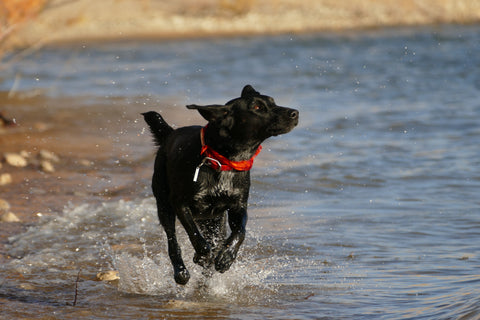 Taking your pooch for a swim. Top 7 Cool Dog Benefits.